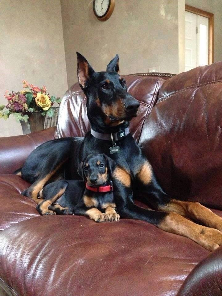 doberman pinscher dogs puppy