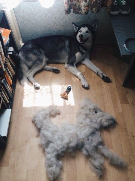 hair dogs husky - 8989742592