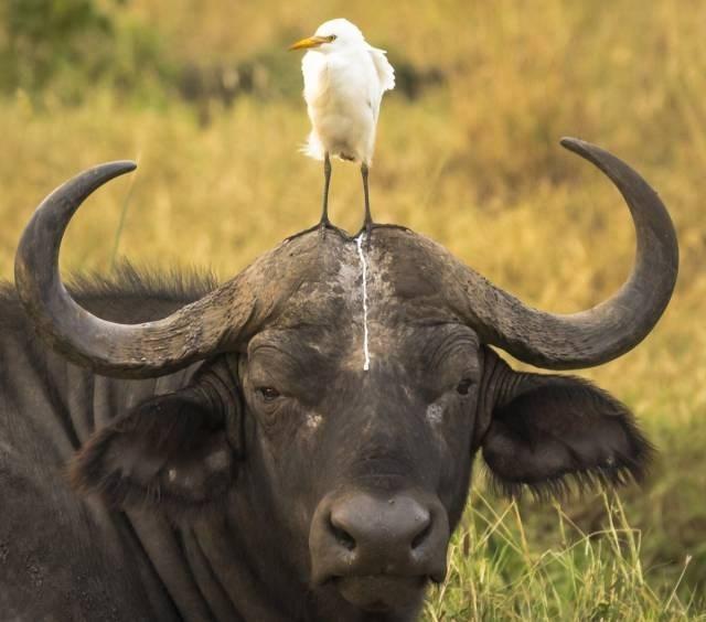 water buffalo - 8990019584