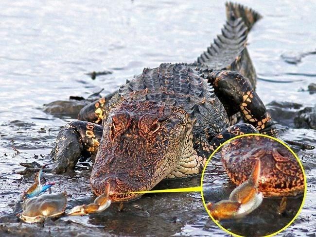 crocodile - 8990023168