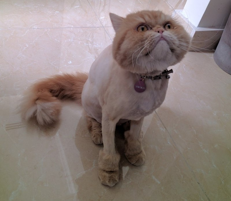 haircut,shaved,Cats