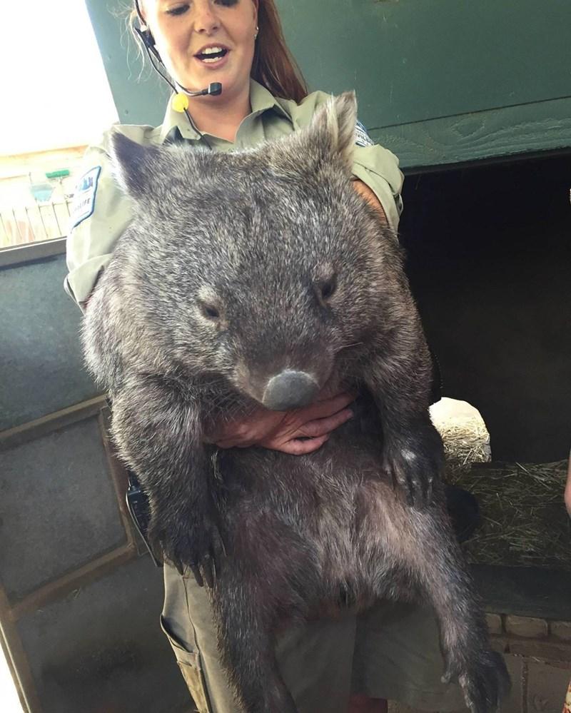 Wombat - 8990673920