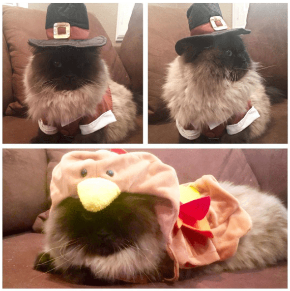 cat dressed as turkey and pilgrim