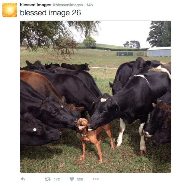 Bovine - blessed images @blessediimages 14h blessed image 26 172 228