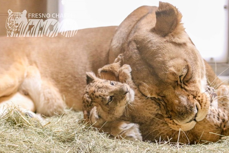 lion cub cuddling with mother