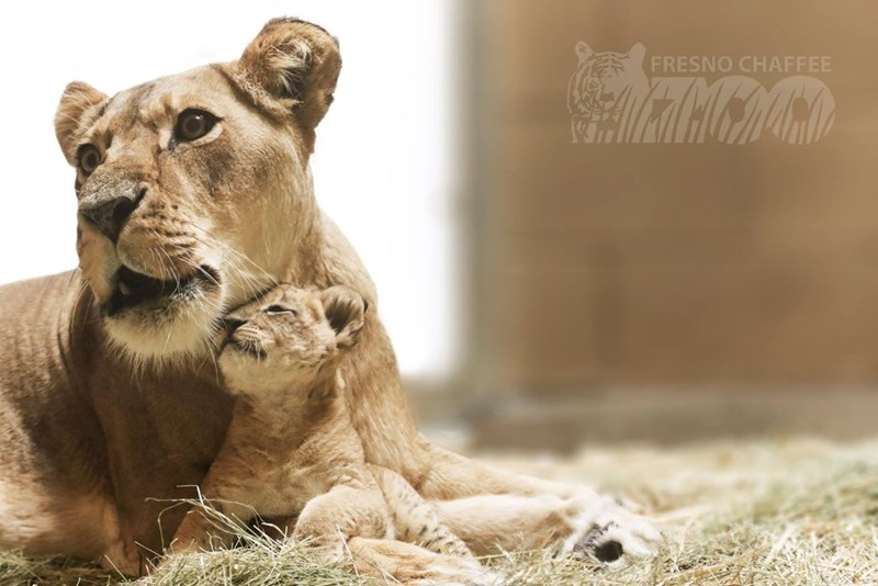 lion cub - cuddling with mother