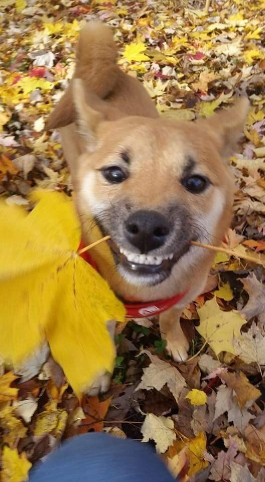 dogs,leaf,shiba inu,smile
