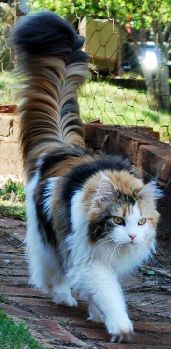 hair fur Cats - 8992889856