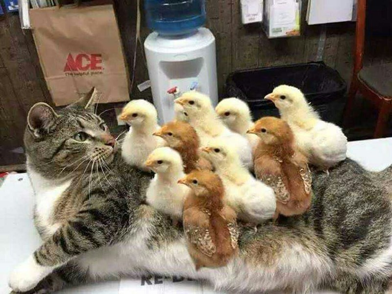 chicks Cats - 8993606144