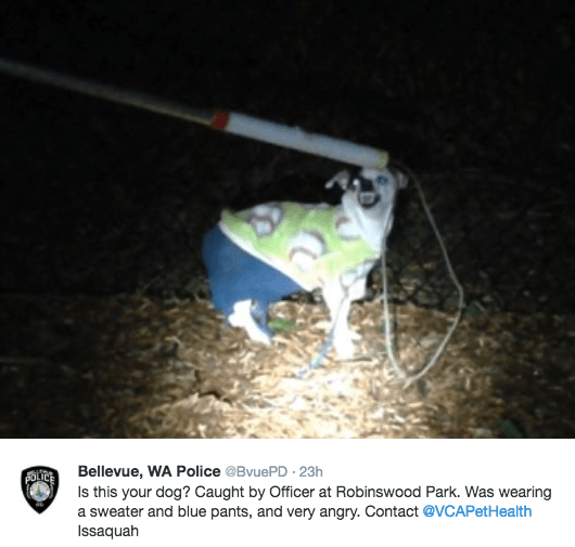 Photo caption - Bellevue, WA Police @BvuePD 23h Is this your dog? Caught by Officer at Robinswood Park. Was wearing a sweater and blue pants, and very angry. Contact @VCAPetHealth Issaquah FOLTCE