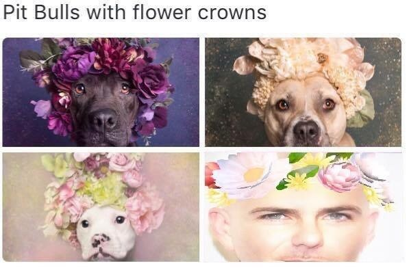 pitbull,flowers,image