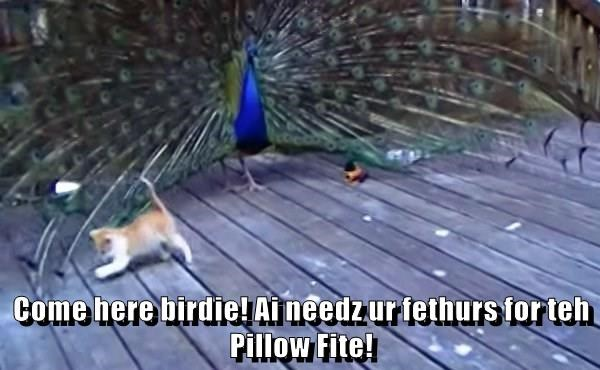Come here birdie! Ai needz ur fethurs for teh Pillow Fite!