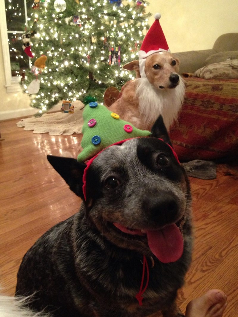 christmas,dogs