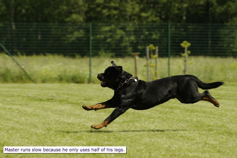 Dog - Master runs slow because he only uses half of his legs.
