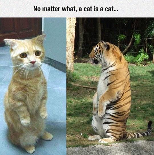 tiger Cats - 8994951680