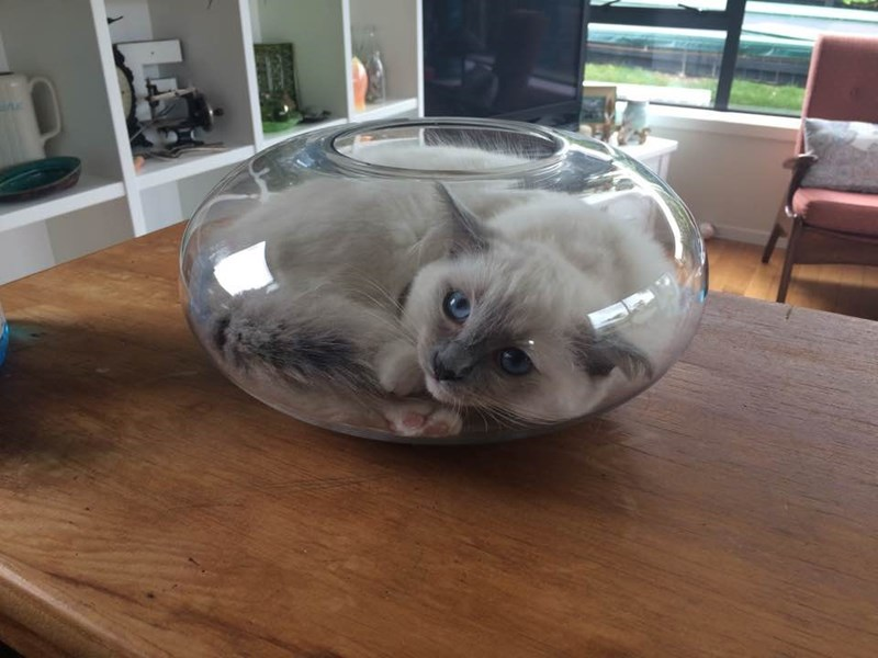 Cat in a fish bowl original image from the photoshop battle