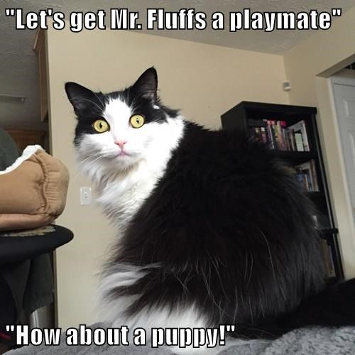 cat playmate puppy mr fluffs caption