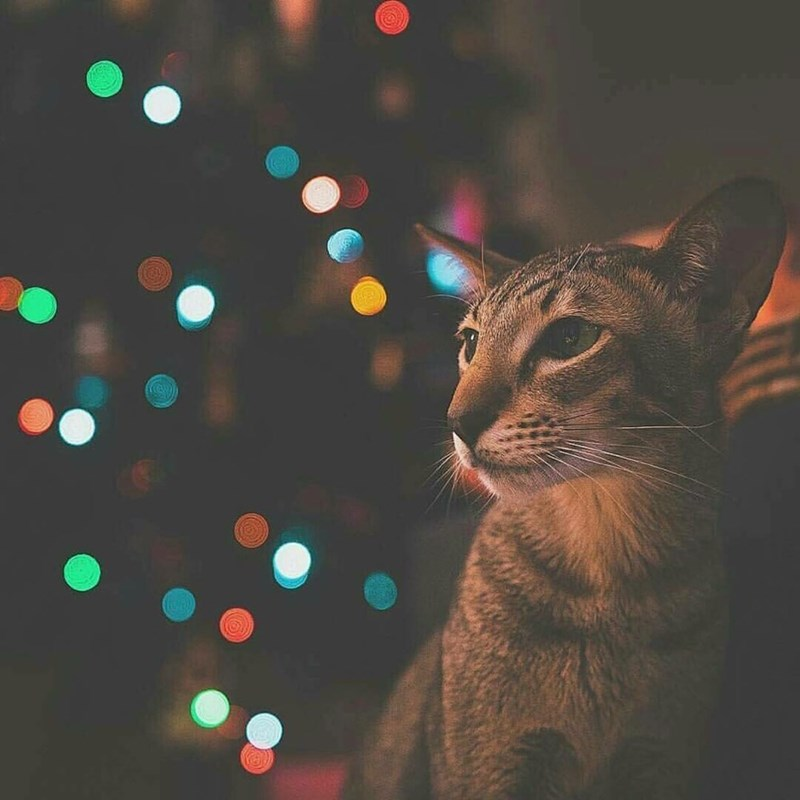christmas,Cats