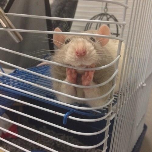 rat cute - 8997209088