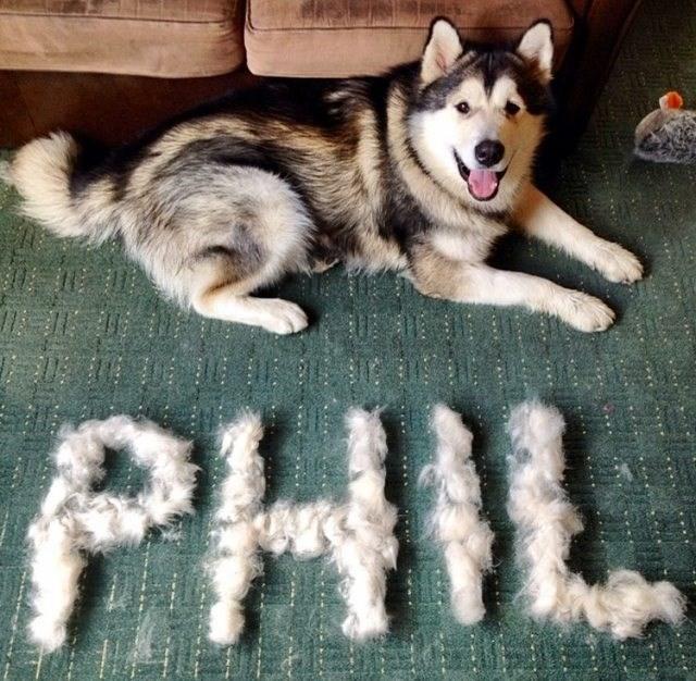 fur dogs phil husky - 8997209600