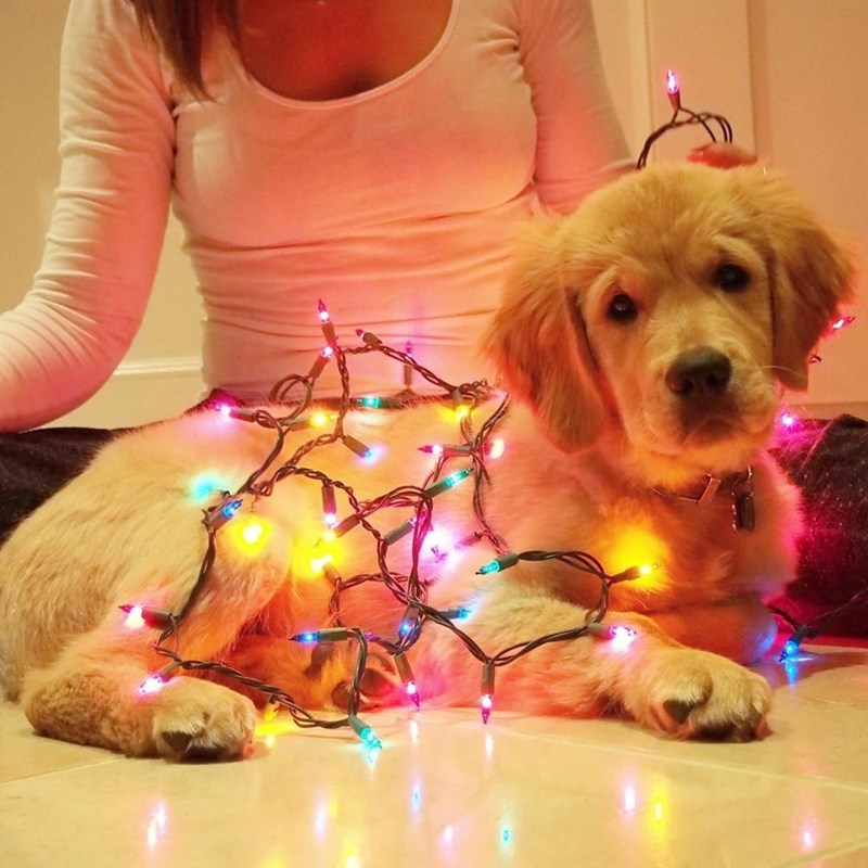 dogs,lights,golden retriever
