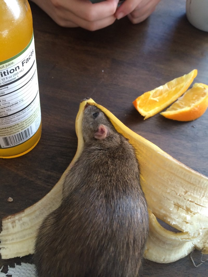 rat banana peel mouse - 8999511552