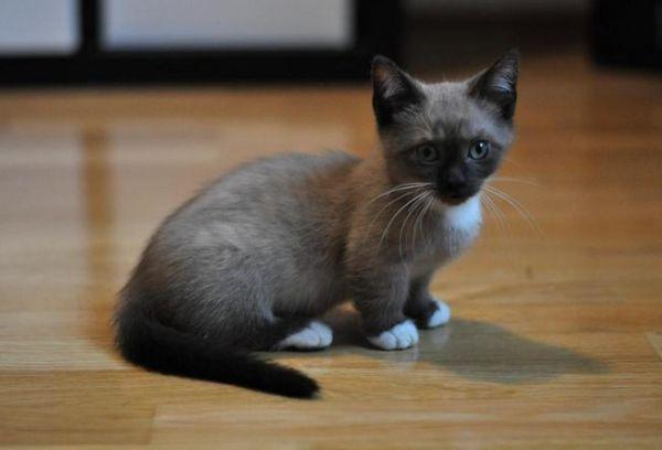 munchkin corgi Cats - 8999560192