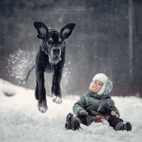 Snow - GreatDaneChronicles www.GREATDANEPHOTOGRAPIY