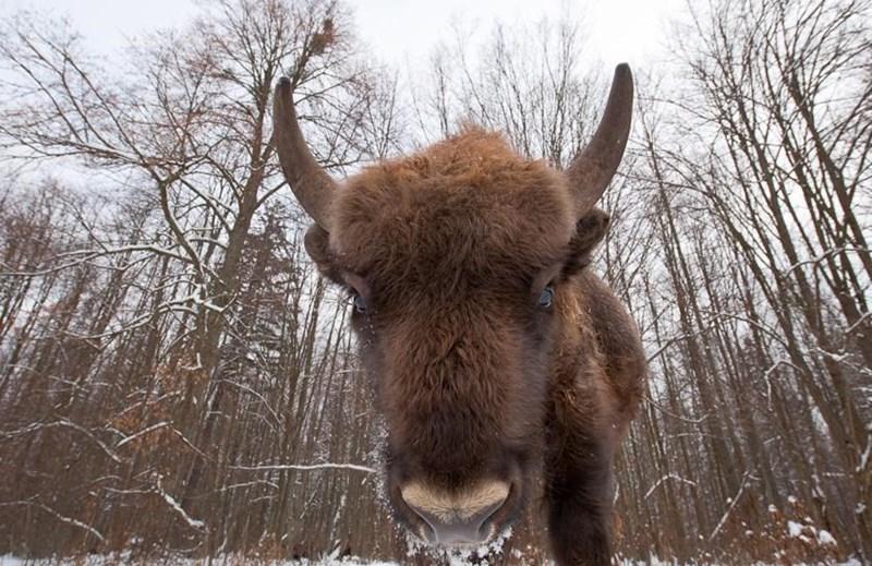 animal selfies - Bovine