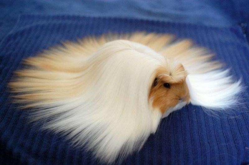 fluffy - Guinea pig