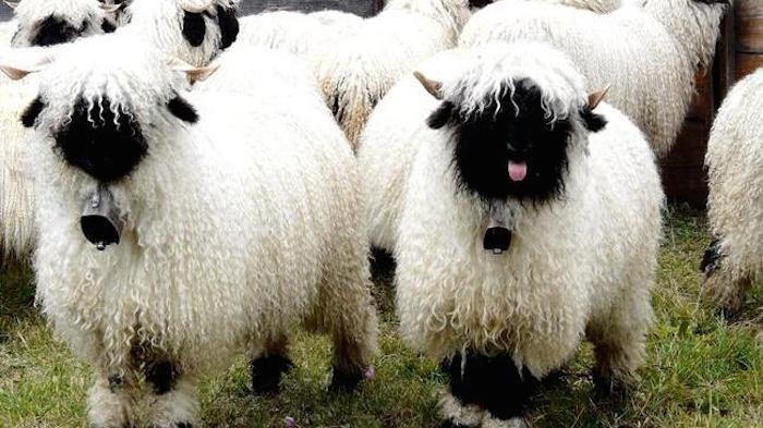 fluffy - Mammal