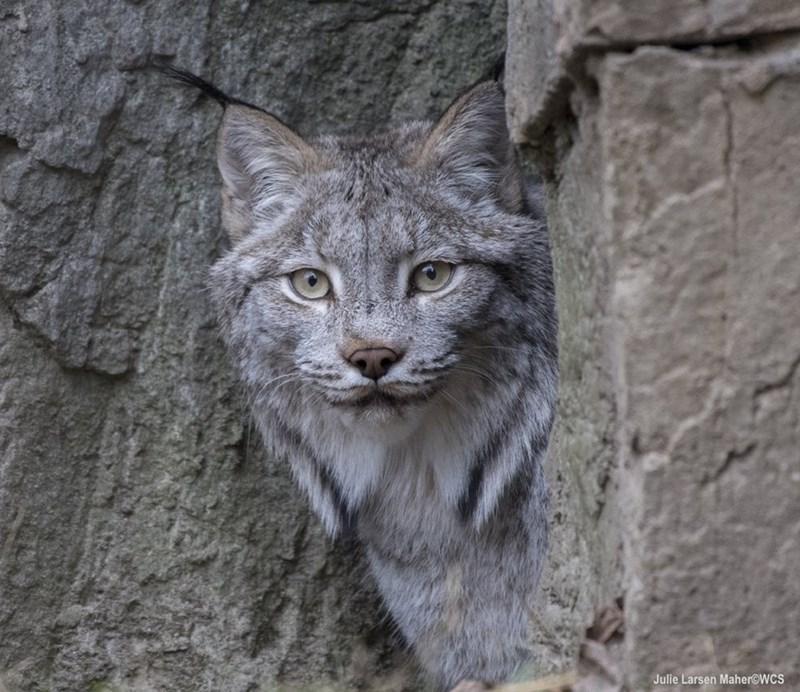 Felidae - Julie Larsen Maher@WCS