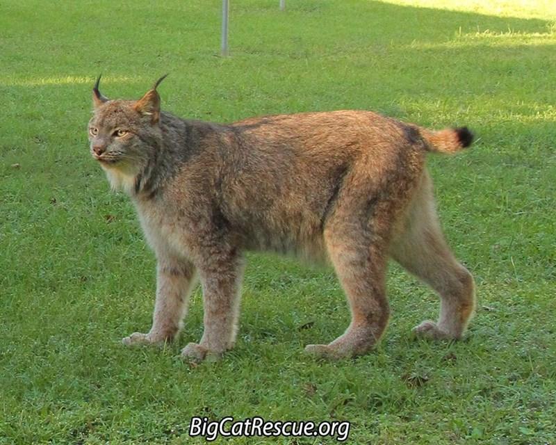 Mammal - BigCatRescue.org