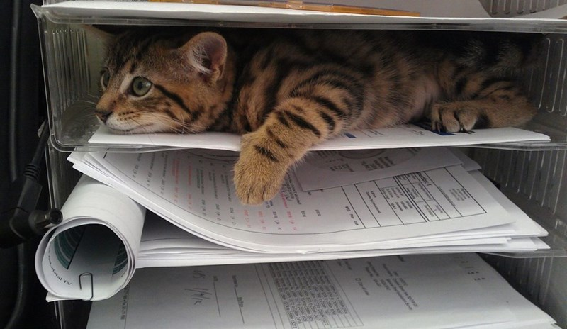 file work papers kitten Cats - 9002083840