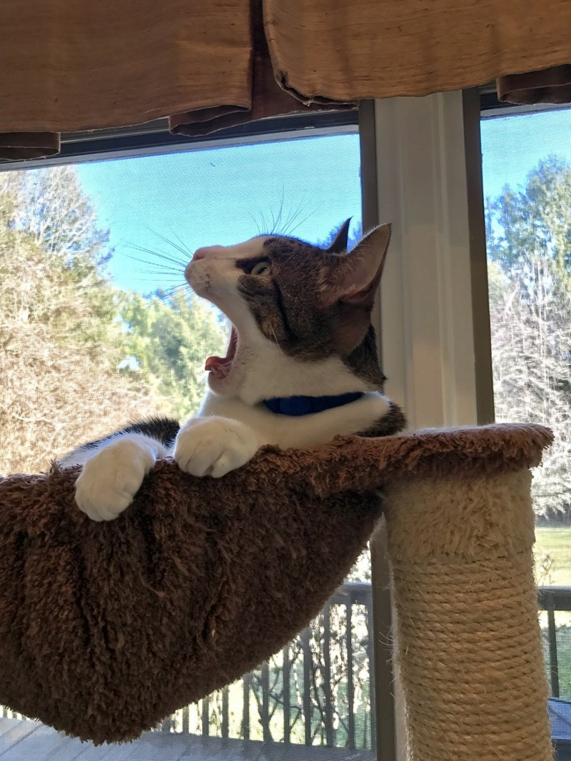 yawn terror Cats - 9002883584