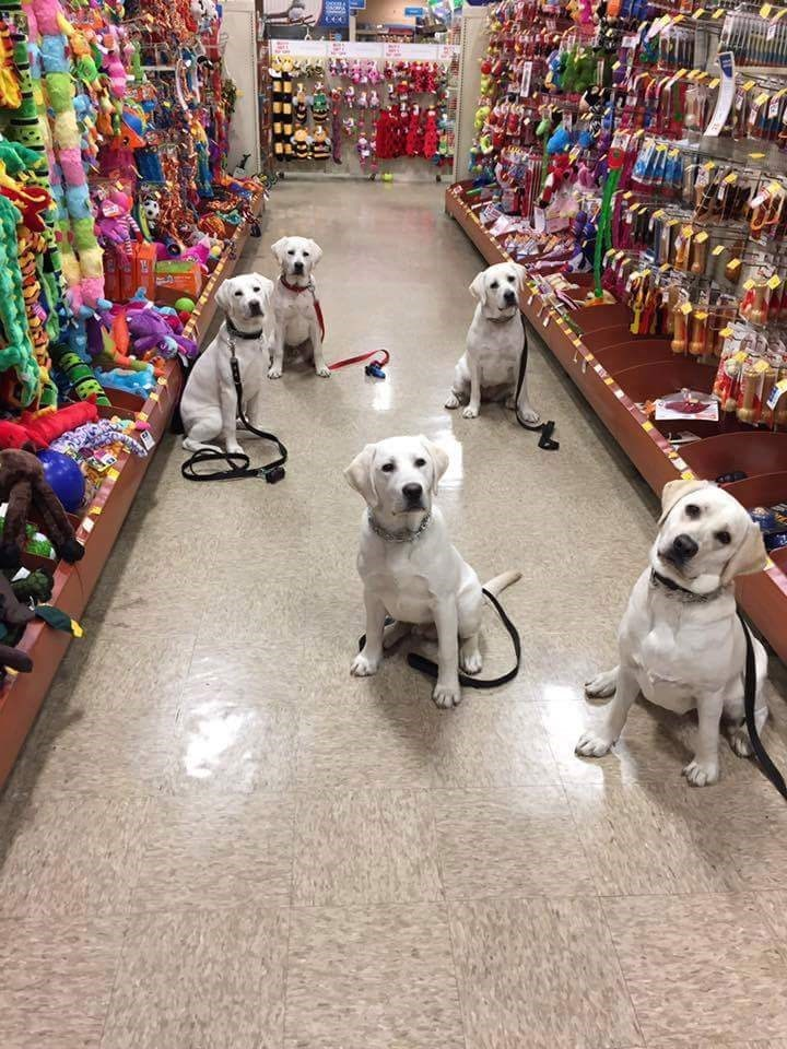 dogs heaven labrador toys - 9003147520