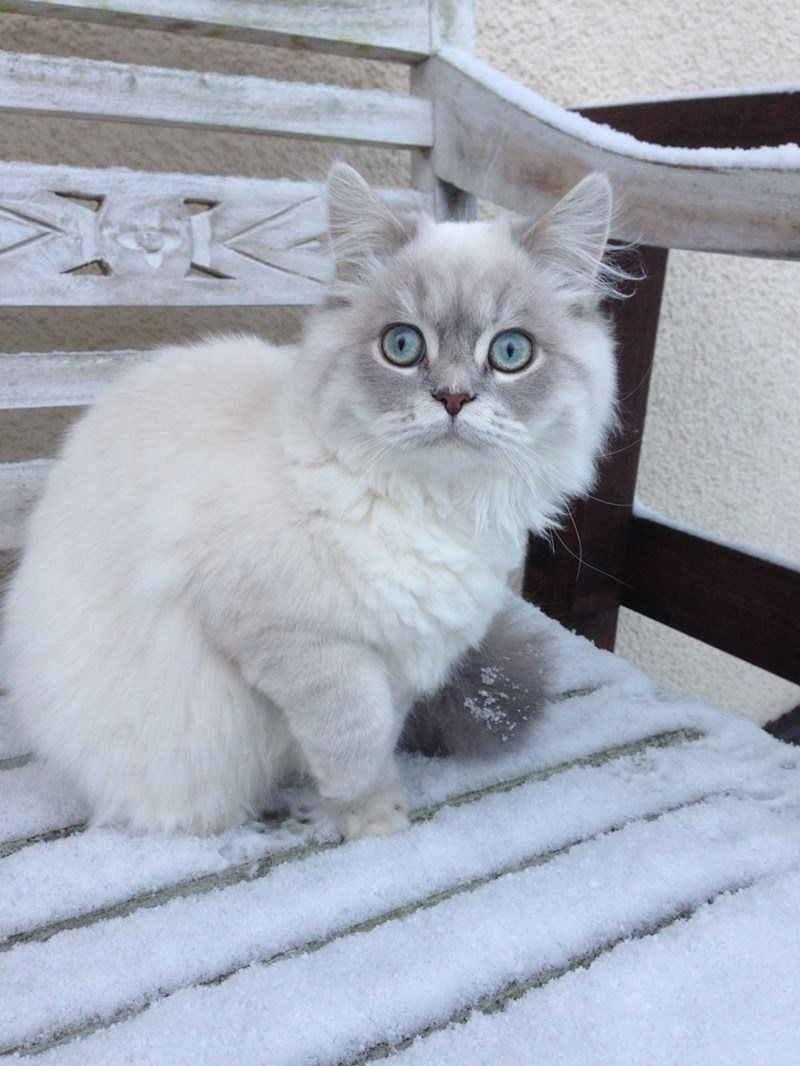blue eyes winter Cats