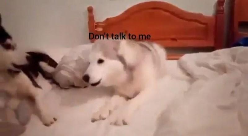 husky gifs funny drama
