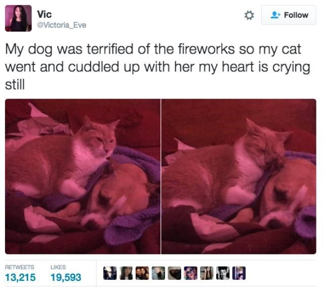 Text - Vic Follow Victoria_Eve My dog was terrified of the fireworks so my cat went and cuddled up with her my heart is crying still RETWEETS LIKES 13,215 19,593