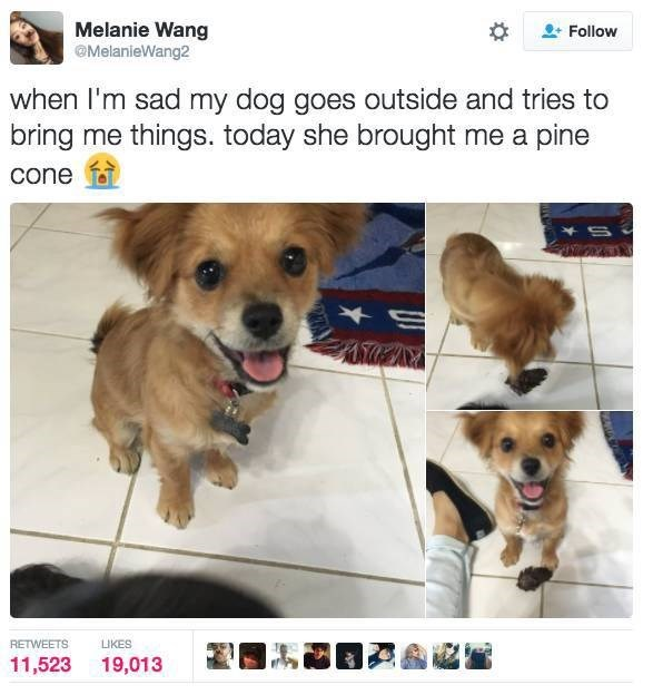 Dog breed - Melanie Wang MelanieWang2 Follow when I'm sad my dog goes outside and tries to bring me things. today she brought me a pine cone RETWEETS LIKES 11,523 19,013