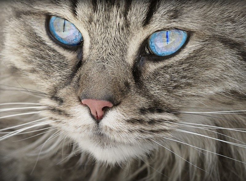 Close up picture of beautiful cat with blue eyes for fun fact article about how cats are as smart as dogs.