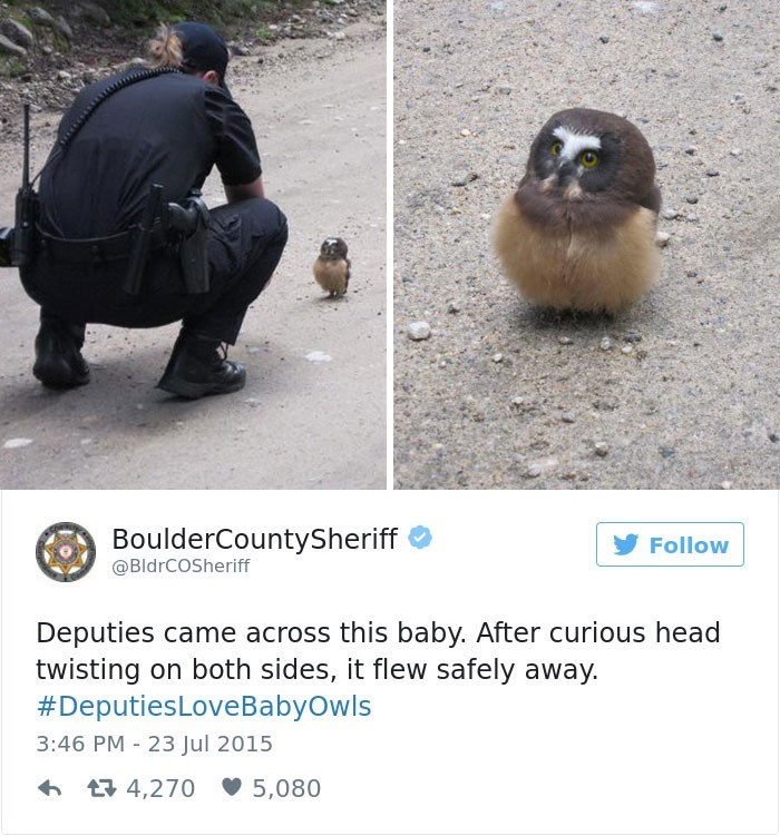 Adaptation - BoulderCountySheriff Follow @BldrCOSheriff Deputies came across this baby. After curious head twisting on both sides, it flew safely away. #DeputiesLoveBabyOwls 3:46 PM 23 Jul 2015 t4,270 5,080