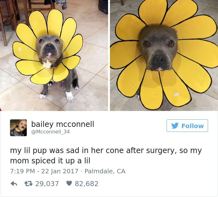 Yellow - bailey mcconnell @Mcconnell_34 Follow my lil pup was sad in her cone after surgery, so my mom spiced it up a lil 7:19 PM 22 Jan 2017 Palmdale, CA t29,037 82,682