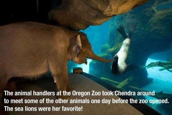 Elephant - The animal handlers at the Oregon Zoo took Chendra around to meet some of the other animals one day before the zoo opened. The sea lions were her favorite!