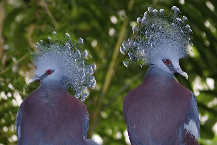 victoria crowned pigeon pics