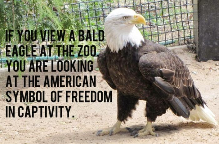 Bird - IF YOU VIEW A BALD EAGLE AT THE ZOO YOU ARE LOOKING AT THE AMERICAN SYMBOL OF FREEDOM IN CAPTIVITY