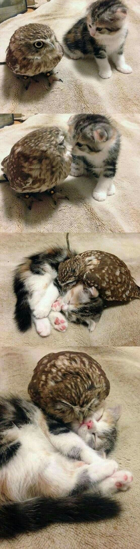 aww kitten Owl cuddles - 9007147776