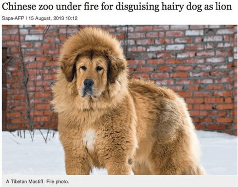 Dog - Chinese zoo under fire for disguising hairy dog as lion Sapa-AFP I 15 August, 2013 10:12 A Tibetan Mastiff. File photo.