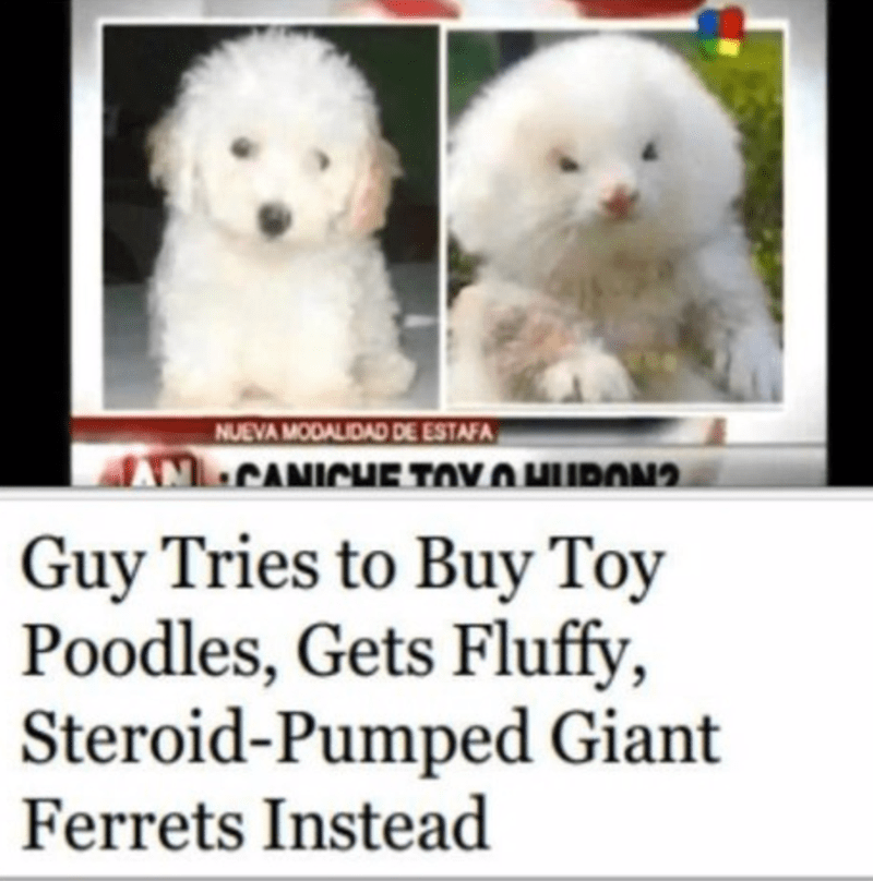 Vertebrate - NUEVA MODALIDAD DE ESTAFA ANCANICHuE TOV O HUPON? Guy Tries to Buy Toy Poodles, Gets Fluffy, Steroid-Pumped Giant Ferrets Instead