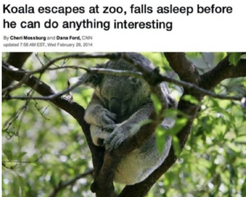 Adaptation - Koala escapes at zoo, falls asleep before he can do anything interesting By Cheri Moss burg and Dana Ford, CNN updated 7:58 AM EST. Wed February 26, 2014